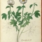 botanical-flowering-plant-italian-3